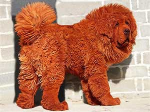 Собака в мире живет на севере китая