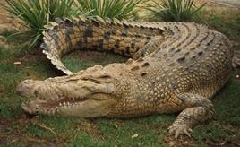 Крокодил символ сексуальности