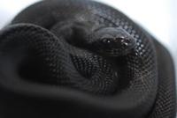 Черная сонник змейка